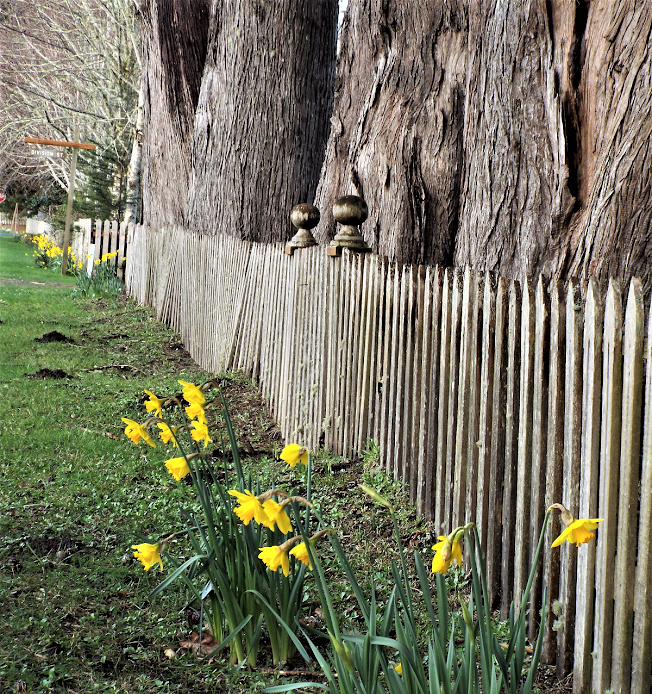 oysterville daffodils